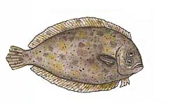 Flounder / Pseudorhombus arsius /  Pseudorhombus jenynsii and others