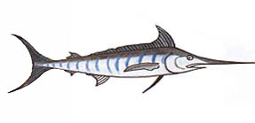 Marlin / Istiophoridae sp