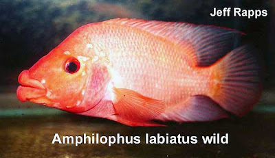 Unknown cichlid for Red devil fish for sale