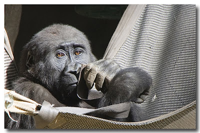 Gorilla in Hammock