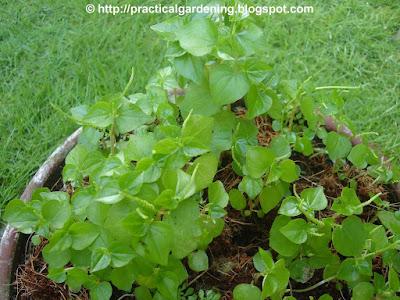 Herbal medicine for heart ailment