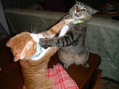 cats fighting - Fight , Fight , Fight