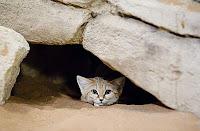Барханная кошка в укрытии