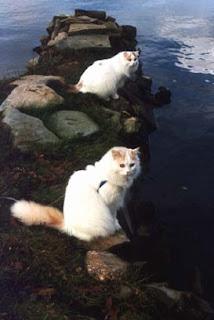 Турецкий ван (Ванская кошка)