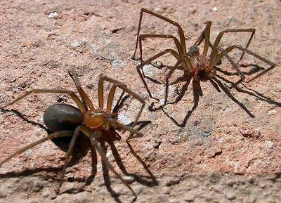 La araña más venenosa y está en tu casa