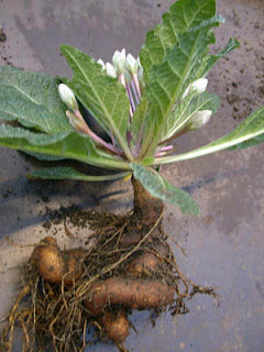 Plantas Magicas 1 La Mandragora Mi Rincon Magico
