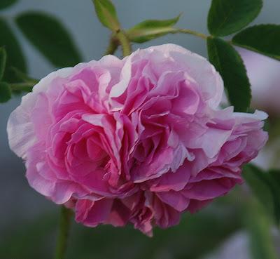 Rosa Blush Hip