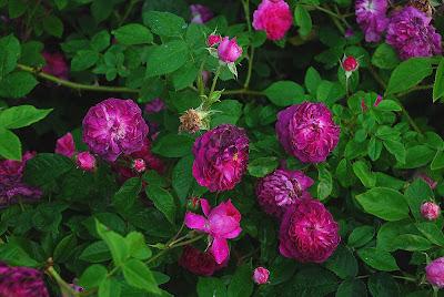 Rosa Erinnerung an Brod