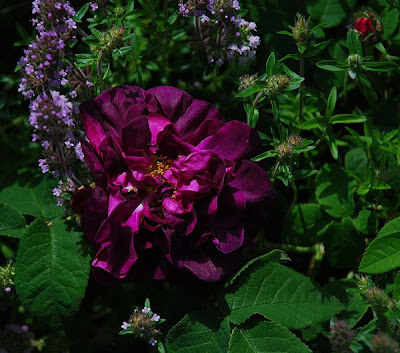 Rosa Sissinghurst Castle
