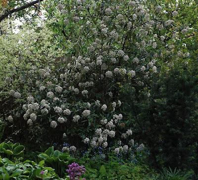 Viburnum × pragense