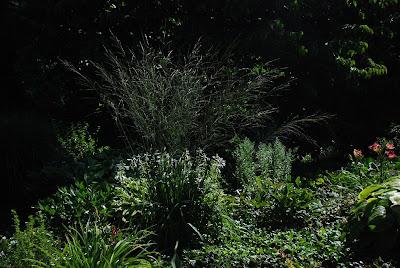 Molinia arundinacea 'Zuneigung'