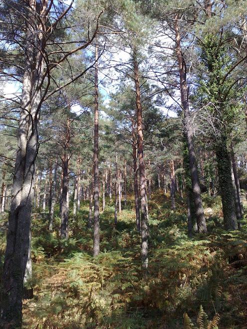 Mancha de pinheiro silvestre Pedra bela