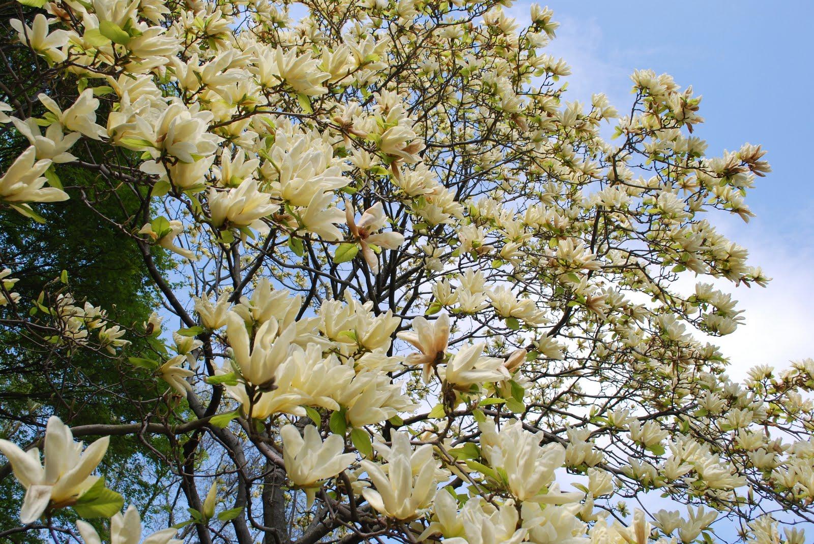 Mille fiori favoriti magnolia trees in the brooklyn for Magnolia tree