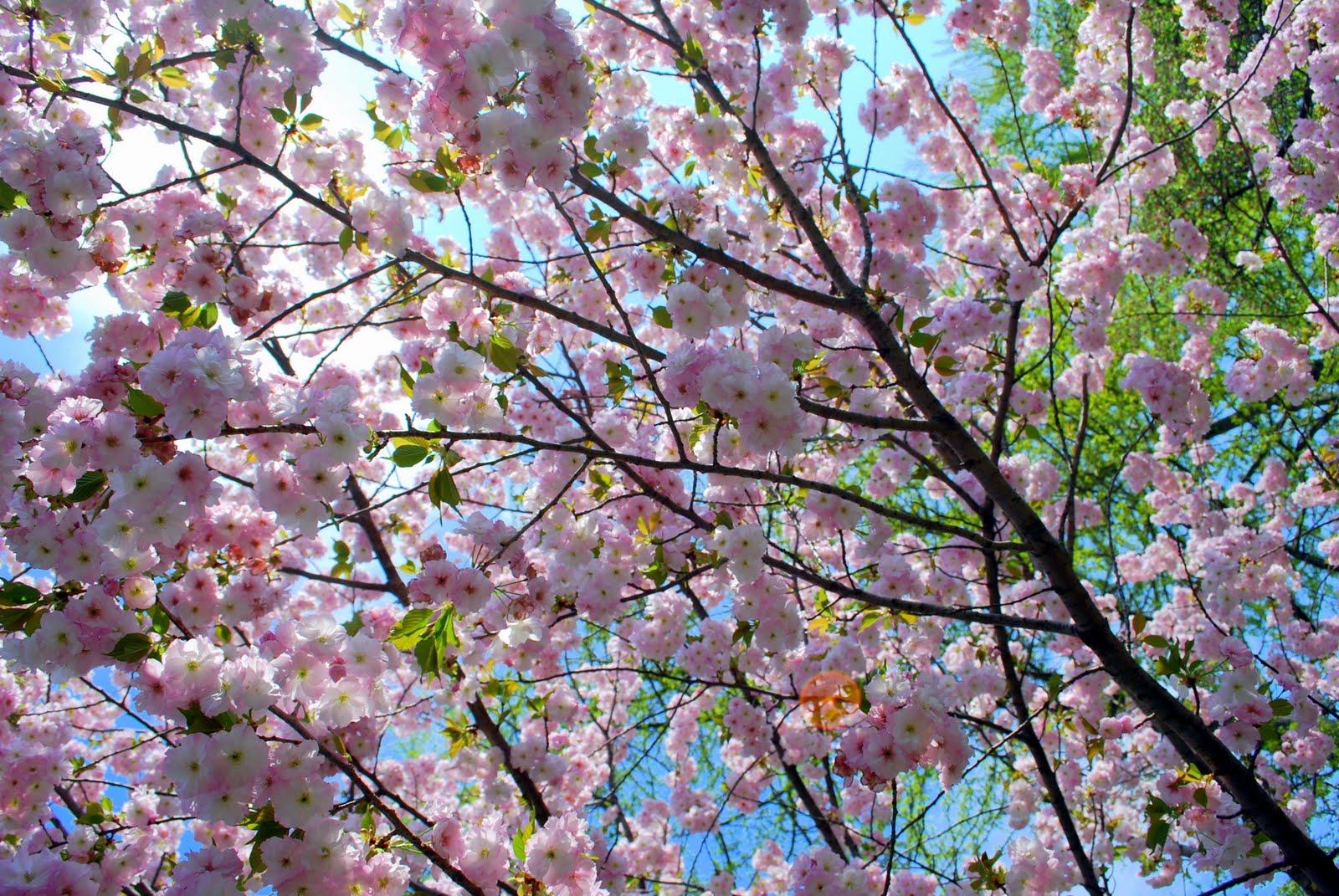 mille fiori favoriti cherry blossom time at the brooklyn
