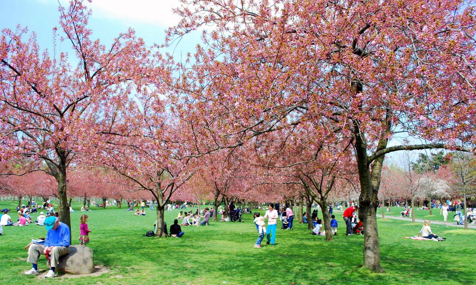 Mille Fiori Favoriti Cherry Blossom Time At The Brooklyn Botanic Garden