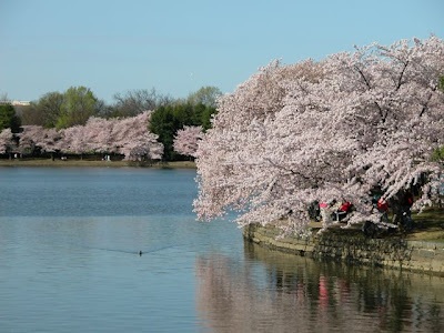 cherry tree blossom festival. scheduled to attend The National Cherry Blossom Festival in Washington,