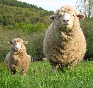 Real Farm Animals Sheep