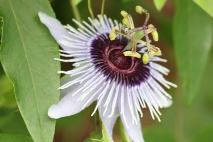 Pasión flor de la vid | Entrenador del jardín de Berkeley