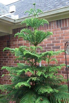 front yard norfolk island pine