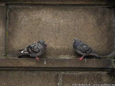 duva, duvor, pigeon, pigeons, dove, doves, paloma