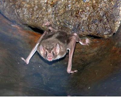 vampire bats sleeping. vampire bats sleeping.