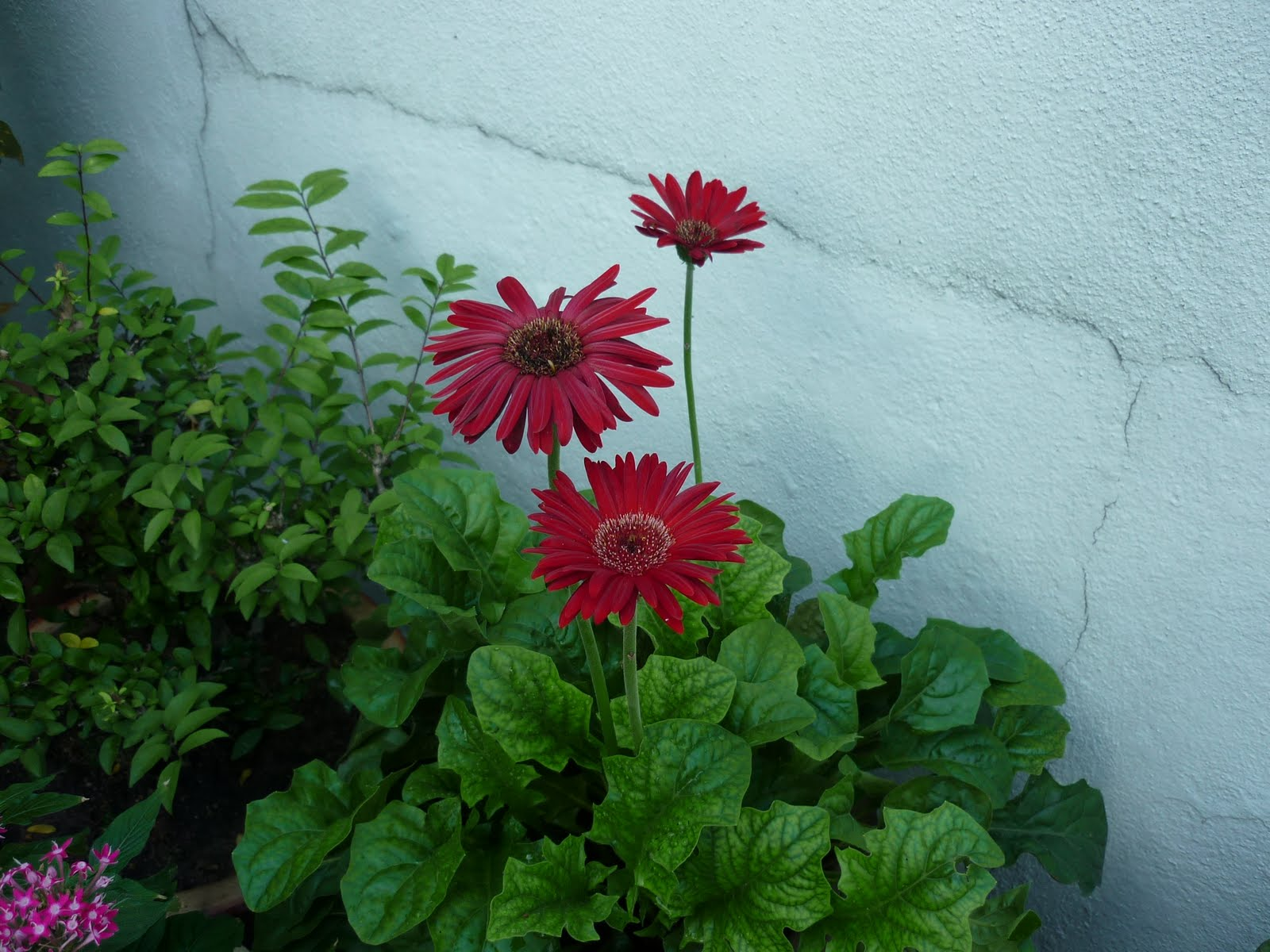 My little potted garden gerberas maroon izmirmasajfo
