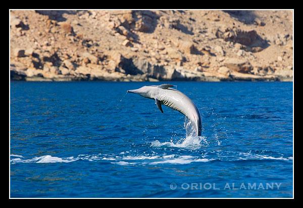 Delfín rotador Stenella longirostris Isla de Socotra Yemen