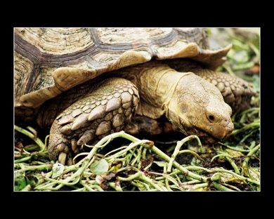 A Sulcata tortoise