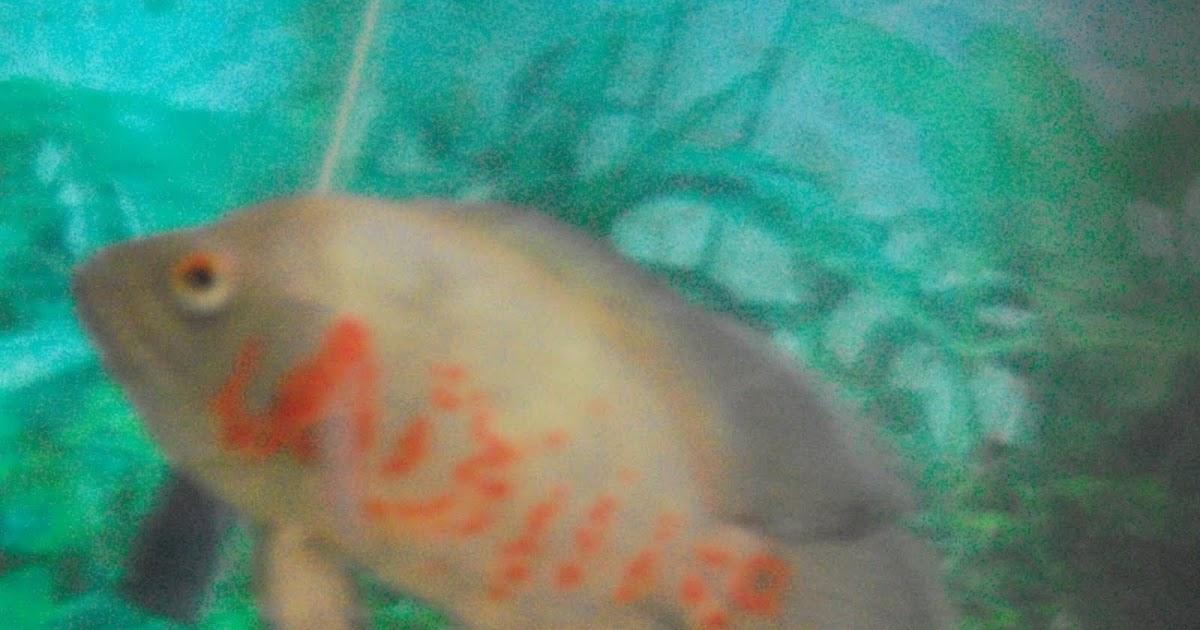 Peces ornamentales reproduccion de pez oscar for Reproduccion de peces ornamentales