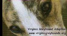 If you are thinking of rescuing a greyhound in Virginia, please click below.