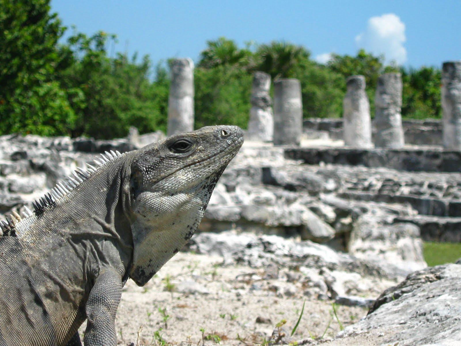 Iguana en la zona de El Meco