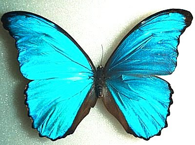 Morpho butterfly. Vivid blue color is produced by precision mirroring, not by a pigment.