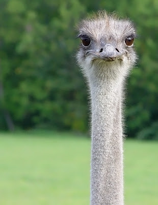 Ostrich. Photo by Jean-Michel Peers. The bird's eyes, rather than its cerebral hemispheres, are exaggerated structures.
