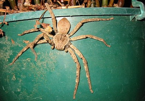 Giant African Spider Diary of an Imp...