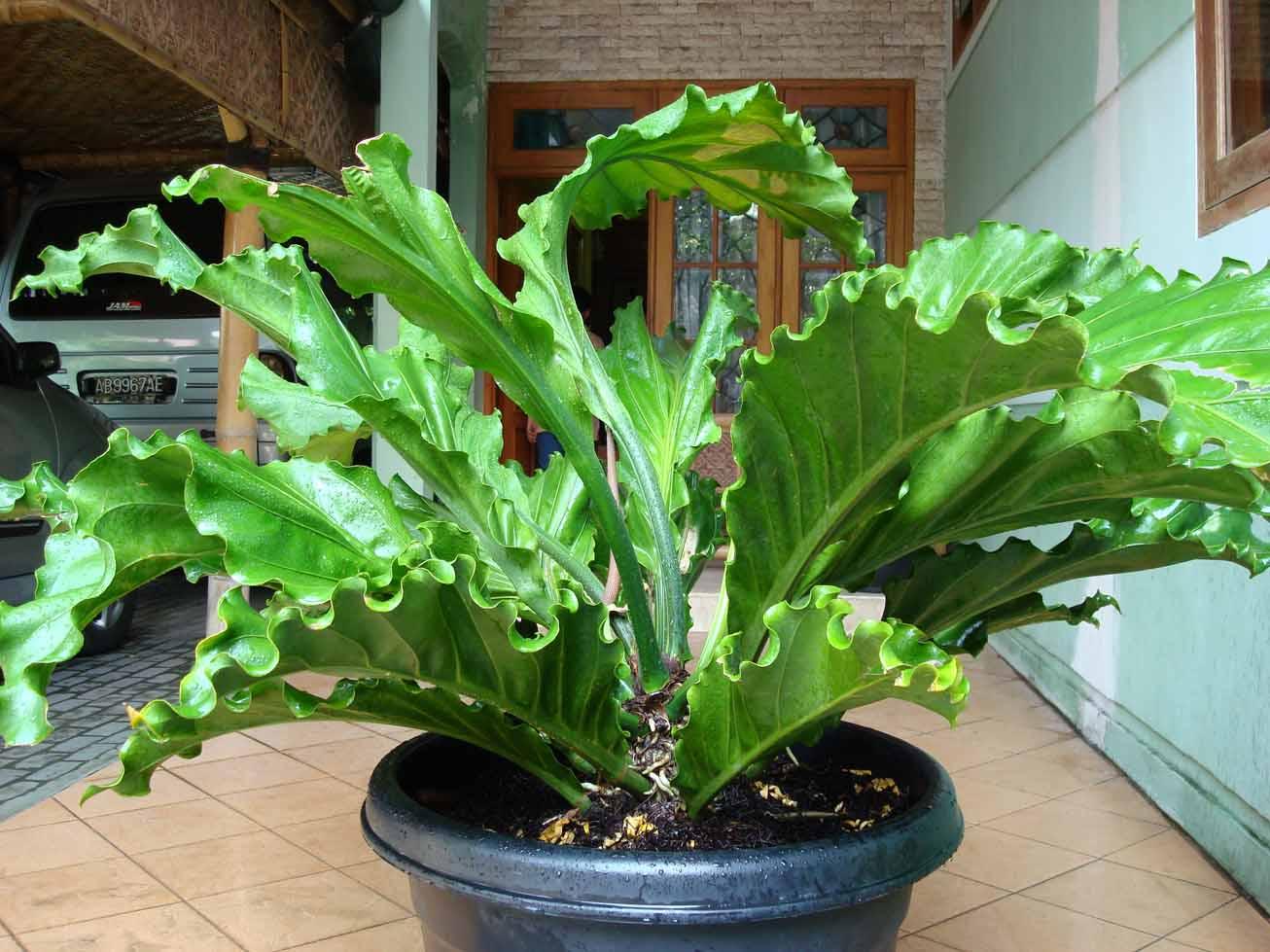 tanaman hias gelombang cinta irasionalitas pecinta tanaman hias