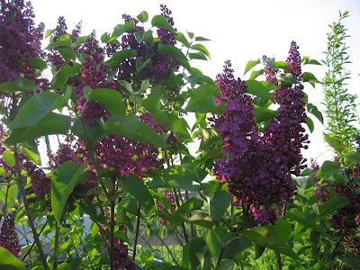 Grains de sel chansons lilas - Philippe timsit henri porte des lilas ...