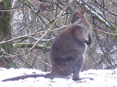 A Wallaby in the snow