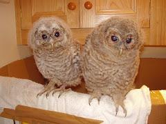 Tawny Owl chicks aged 3 weeks