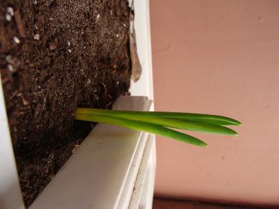 Луковичные проросли из-под земли осенью!