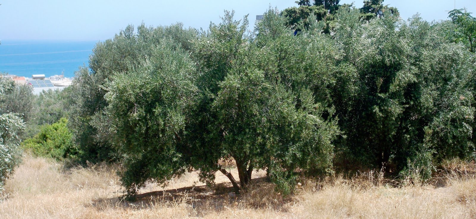 Patrick comerford the olive tree a miracle of nature and a symbol the olive tree a miracle of nature and a symbol of the cycle of life buycottarizona Choice Image