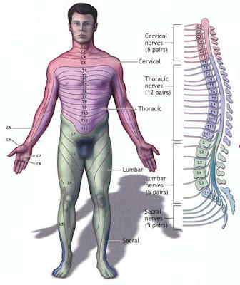 anatomía de la médula espinal y sus nervios