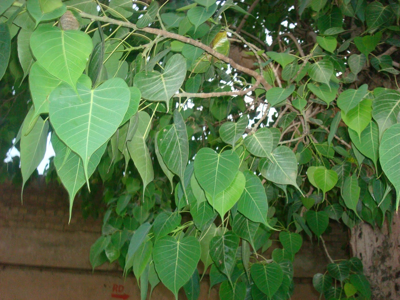 I Earth I Echo Leaves Of The Peepal Tree