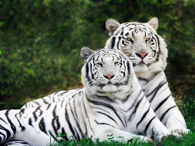 Download besplatne slike i pozadine za desktop: Bijeli tigrovi