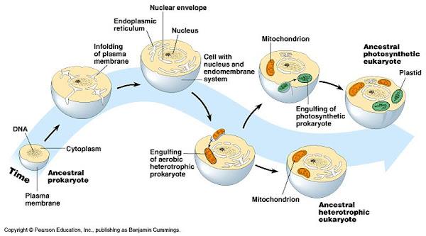 Teoria endosimbiotica