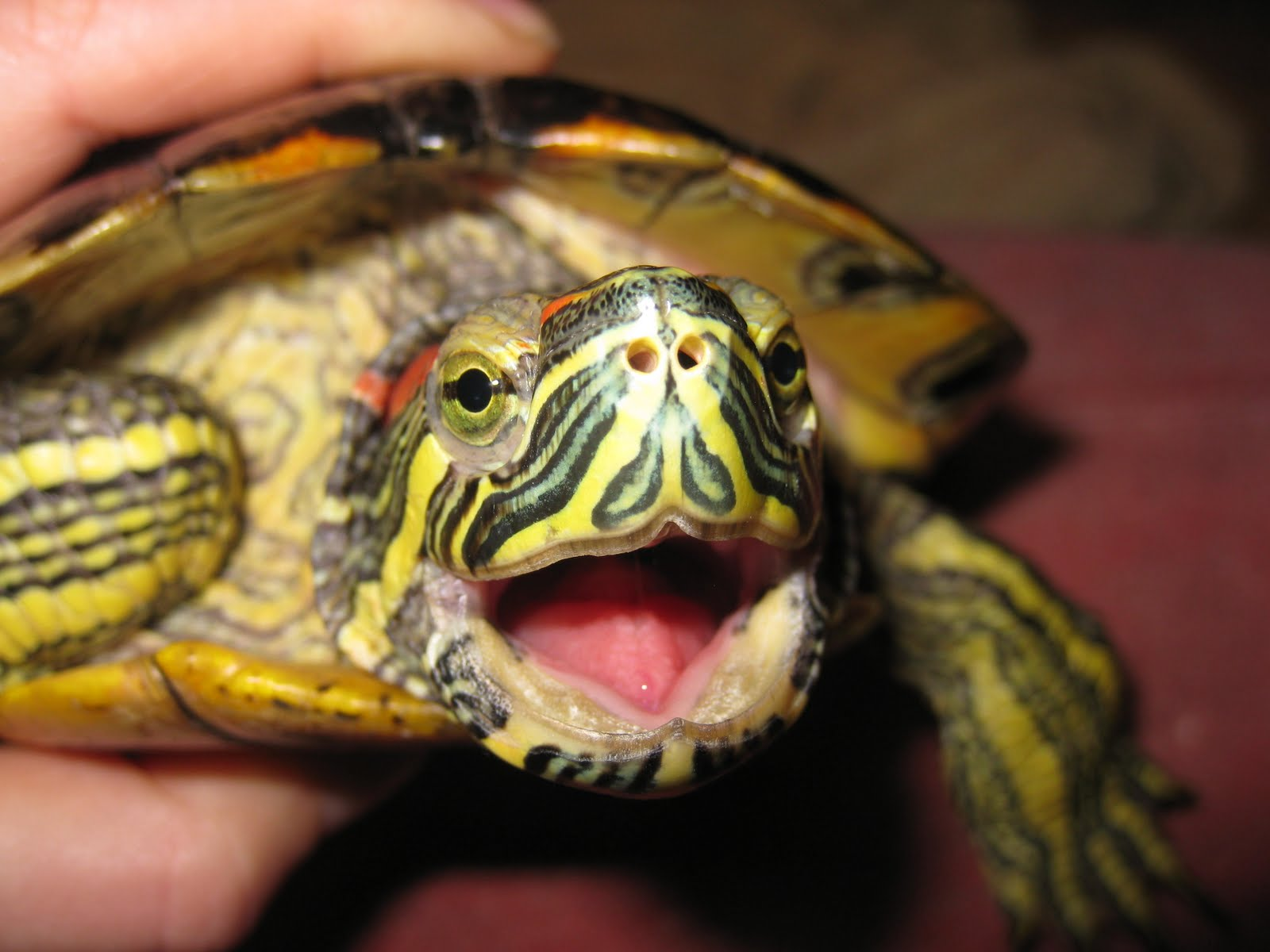 ... Random Thoughts & Ponderings: Moods of the red eared slider: Annoyance