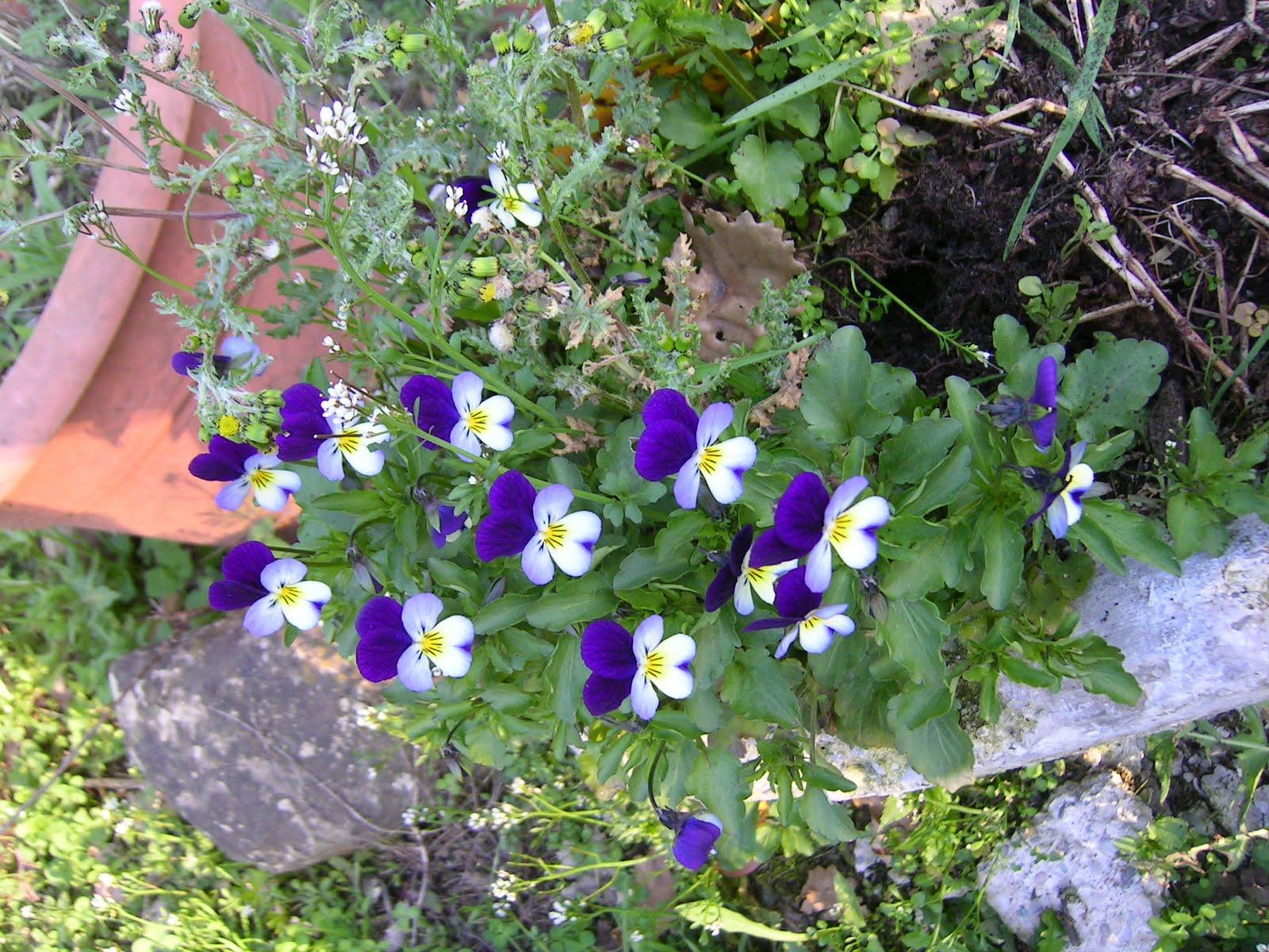 Sally 39 s ordinary insanity stories i fiori di primavera for Fiori di primavera