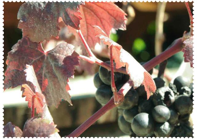 Purple grape vine