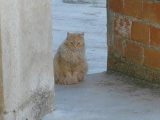 gato rubio