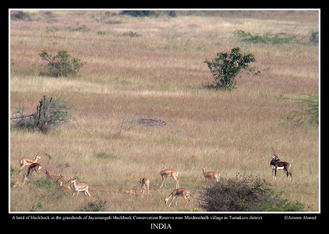 A herd of blackbuck in the grasslands of Jayamangali Conseravation Reserve near Maidenahalli village in Tumkur district, Karnataka
