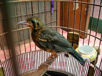 Burung Terbaru